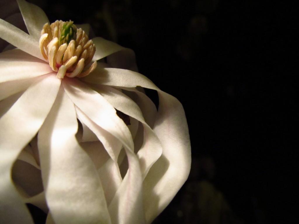 Night Magnolia #1